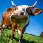 Legacy-systems-cow